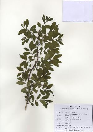 (Ulmaceae - PDBK2009-1293)  @11 [ ] Copyright (2009) Ki Joong Kim Korea University Herbarium (KUS)