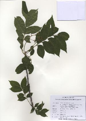 (Picrasma - PDBK2009-1301)  @11 [ ] Copyright (2009) Ki Joong Kim Korea University Herbarium (KUS)