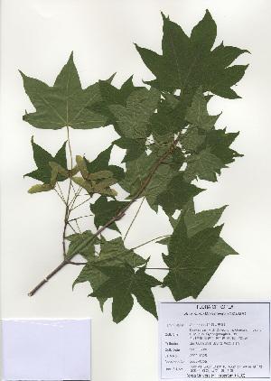 (Acer mono - PDBK2009-1305)  @13 [ ] Copyright (2009) Ki Joong Kim Korea University Herbarium (KUS)