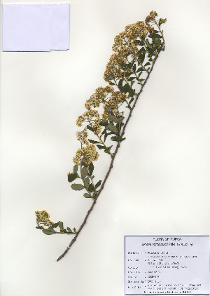 (Spiraea trichocarpa - PDBK2009-1324)  @11 [ ] Copyright (2009) Ki Joong Kim Korea University Herbarium (KUS)