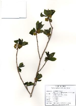 (Lindera - PDBK2010-0272)  @11 [ ] Copyright (2010) Ki Joong Kim Korea University Herbarium (KUS)