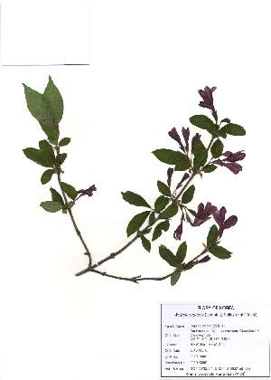 (Weigela praecox - PDBK2010-0309)  @11 [ ] Copyright (2010) Ki Joong Kim Korea University Herbarium (KUS)