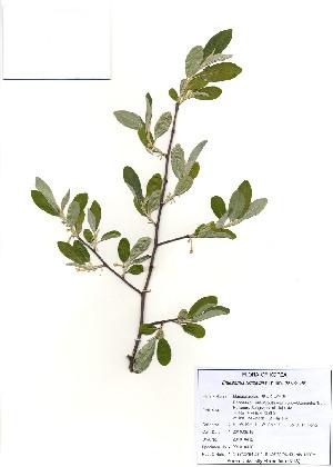 ( - PDBK2010-0412)  @11 [ ] Copyright (2010) Ki Joong Kim Korea University Herbarium (KUS)