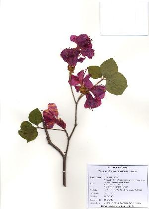 (Rhododendron weyrichii - PDBK2010-0419)  @11 [ ] Copyright (2010) Ki Joong Kim Korea University Herbarium (KUS)