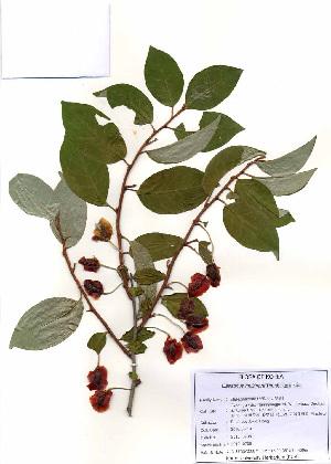 (Elaeagnus multiflora - PDBK2010-0706)  @11 [ ] Copyright (2010) Ki Joong Kim Korea University Herbarium (KUS)