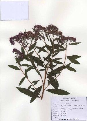 ( - PDBK2010-0737)  @11 [ ] Copyright (2010) Ki Joong Kim Korea University Herbarium (KUS)