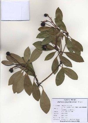 (Machilus - PDBK2010-0770)  @11 [ ] Copyright (2010) Ki Joong Kim Korea University Herbarium (KUS)