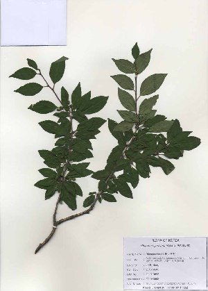 (Rhamnus yoshinoi - PDBK2010-0852)  @11 [ ] Copyright (2010) Ki Joong Kim Korea University Herbarium (KUS)