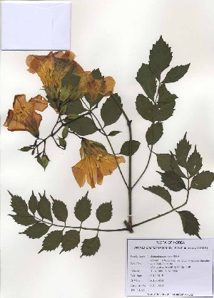 (Campsis - PDBK2010-0958)  @11 [ ] Copyright (2010) Ki Joong Kim Korea University Herbarium (KUS)