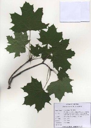 ( - PDBK2010-0963)  @11 [ ] Copyright (2010) Ki Joong Kim Korea University Herbarium (KUS)