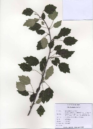 ( - PDBK2010-0971)  @11 [ ] Copyright (2010) Ki Joong Kim Korea University Herbarium (KUS)