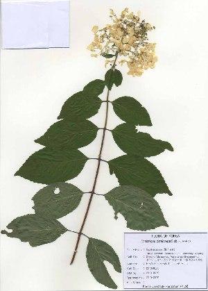 (Hydrangea - PDBK2010-0979)  @11 [ ] Copyright (2010) Ki Joong Kim Korea University Herbarium (KUS)
