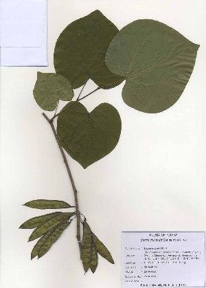 (Cercis - PDBK2010-0980)  @11 [ ] Copyright (2010) Ki Joong Kim Korea University Herbarium (KUS)