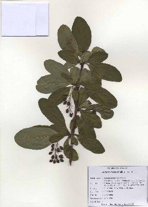 (Berberis koreana - PDBK2010-0988)  @11 [ ] Copyright (2010) Ki Joong Kim Korea University Herbarium (KUS)