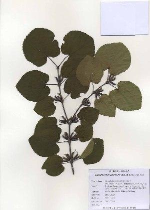 (Cercidiphyllaceae - PDBK2010-0993)  @11 [ ] Copyright (2010) Ki Joong Kim Korea University Herbarium (KUS)