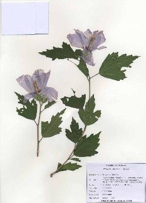 ( - PDBK2010-0994)  @11 [ ] Copyright (2010) Ki Joong Kim Korea University Herbarium (KUS)