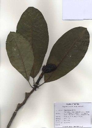 (Magnolia obovata - PDBK2010-0995)  @11 [ ] Copyright (2010) Ki Joong Kim Korea University Herbarium (KUS)