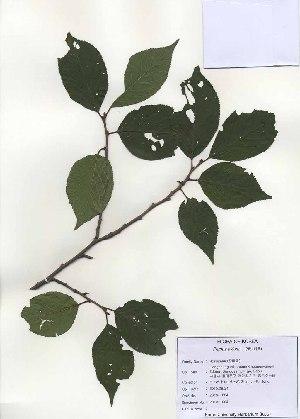 ( - PDBK2010-1004)  @11 [ ] Copyright (2010) Ki Joong Kim Korea University Herbarium (KUS)