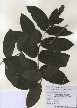(Juglans mandshurica - PDBK2010-1006)  @11 [ ] Copyright (2010) Ki Joong Kim Korea University Herbarium (KUS)
