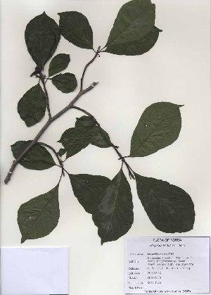 (Magnolia kobus - PDBK2010-1009)  @11 [ ] Copyright (2010) Ki Joong Kim Korea University Herbarium (KUS)