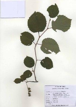 (Hamamelidaceae - PDBK2010-1018)  @13 [ ] Copyright (2010) Ki Joong Kim Korea University Herbarium (KUS)