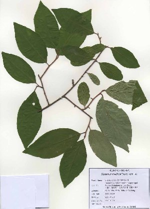 (Elaeagnus multiflora - PDBK2010-1028)  @11 [ ] Copyright (2010) Ki Joong Kim Korea University Herbarium (KUS)