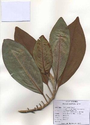 ( - PDBK2010-1032)  @11 [ ] Copyright (2010) Ki Joong Kim Korea University Herbarium (KUS)