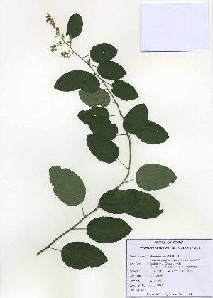 (Berchemia racemosa - PDBK2010-1037)  @11 [ ] Copyright (2010) Ki Joong Kim Korea University Herbarium (KUS)
