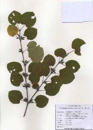 (Cercidiphyllum - PDBK2010-1046)  @11 [ ] Copyright (2010) Ki Joong Kim Korea University Herbarium (KUS)