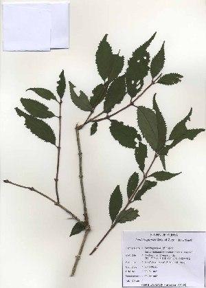(Deutzia - PDBK2010-1062)  @11 [ ] Copyright (2010) Ki Joong Kim Korea University Herbarium (KUS)