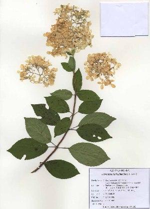 (Hydrangea - PDBK2010-1066)  @11 [ ] Copyright (2010) Ki Joong Kim Korea University Herbarium (KUS)