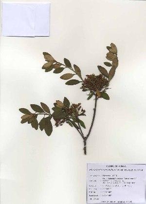 (Rhododendron micranthum - PDBK2010-1067)  @11 [ ] Copyright (2010) Ki Joong Kim Korea University Herbarium (KUS)