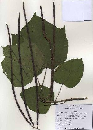 (Catalpa - PDBK2010-1070)  @11 [ ] Copyright (2010) Ki Joong Kim Korea University Herbarium (KUS)