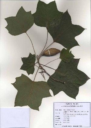 ( - PDBK2010-1076)  @11 [ ] Copyright (2010) Ki Joong Kim Korea University Herbarium (KUS)