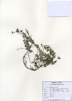 (Ficus thunbergii - PDBK2010-1440)  @11 [ ] Copyright (2010) Ki Joong Kim Korea University Herbarium (KUS)