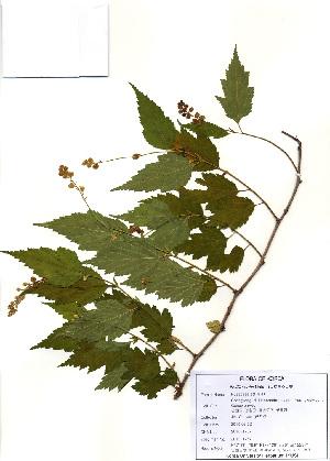 (Neillia - PDBK2010-1767)  @11 [ ] Copyright (2010) Ki Joong Kim Korea University Herbarium (KUS)