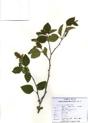 (Betula chinensis - PDBK2010-1806)  @11 [ ] Copyright (2010) Ki Joong Kim Korea University Herbarium (KUS)