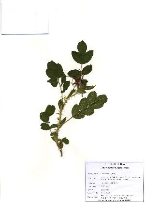 (Rosa rugosa - PDBK2010-1934)  @11 [ ] Copyright (2010) Ki Joong Kim Korea University Herbarium (KUS)