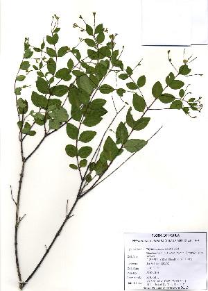 (Wikstroemia - PDBK2010-2188)  @11 [ ] Copyright (2010) Ki Joong Kim Korea University Herbarium (KUS)