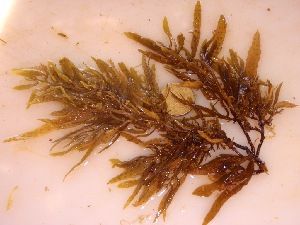 (Sargassum ligulatum - GWS032347)  @11 [ ] Unspecified (default): All Rights Reserved  Unspecified Unspecified