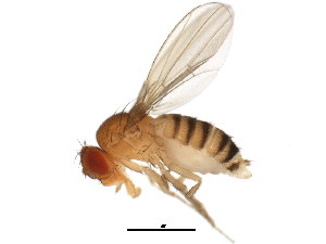 (Drosophila melanogaster - BIOUG01307-E04)  @14 [ ] CreativeCommons - Attribution Non-Commercial Share-Alike (2011) CBG Photography Group Centre for Biodiversity Genomics