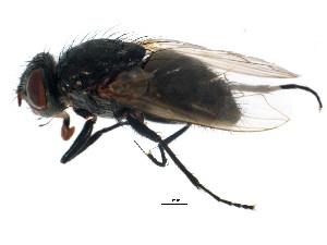 (Pollenia pediculata - BIOUG01338-F09)  @14 [ ] CreativeCommons - Attribution Non-Commercial Share-Alike (2011) BIO Photography Group Biodiversity Institute of Ontario