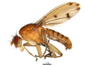 (Suillia quinquepunctata - BIOUG01349-A10)  @16 [ ] CreativeCommons - Attribution Non-Commercial Share-Alike (2011) BIO Photography Group Biodiversity Institute of Ontario