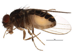 (Drosophila hydei - BIOUG01389-C06)  @14 [ ] CreativeCommons - Attribution Non-Commercial Share-Alike (2012) BIO Photography Group Biodiversity Institute of Ontario