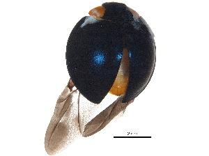 (Chilocorinae - BIOUG18274-A03)  @14 [ ] CreativeCommons - Attribution Non-Commercial Share-Alike (2015) BIO Photography Group Biodiversity Institute of Ontario