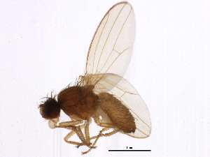 (Drosophila sp. TAW2 - BIOUG01123-D02)  @14 [ ] CreativeCommons - Attribution Non-Commercial Share-Alike (2012) BIO Photography Group Biodiversity Institute of Ontario