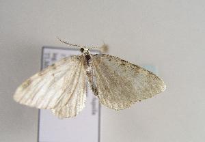 (Colostygia aqueata herzegovinensis - TLMF Lep 01978)  @14 [ ] Copyright  TLMF 2010 Unspecified