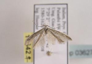 (Coleophora vulnerariae - TLMF Lep 03627)  @14 [ ] CreativeCommons - Attribution Non-Commercial Share-Alike (2011) Peter Huemer Tiroler Landesmuseum Ferdinandeum