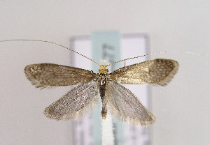 (Nematopogon adansoniella - TLMF Lep 03677)  @15 [ ] CreativeCommons - Attribution Non-Commercial Share-Alike (2011) Peter Huemer Tiroler Landesmuseum Ferdinandeum