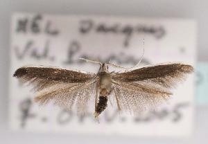 (Coleophora albella - TLMF Lep 03743)  @15 [ ] CreativeCommons - Attribution Non-Commercial Share-Alike (2011) Peter Huemer Tiroler Landesmuseum Ferdinandeum